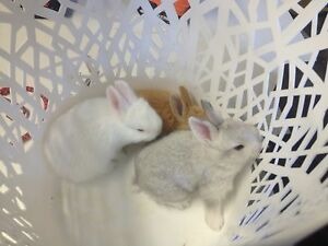 New Zealand White X Flemish Giant Rabbits Inglewood Adelaide Hills Preview