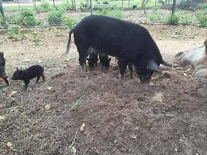 Mini Pig Breeding Boar Bluewater Townsville Surrounds Preview