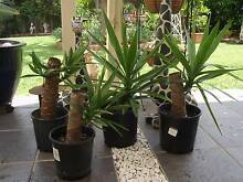 STUMPY YUCCAS Casula Liverpool Area Preview