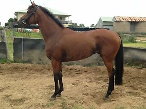 Beautiful Gelding Millers Forest Maitland Area Preview