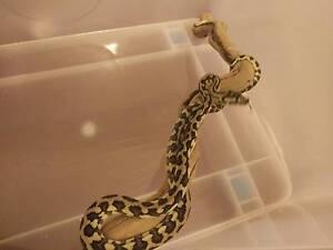 Male jungle python and enclosure Slacks Creek Logan Area Preview