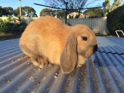 8 week old Mini lop rabbits Cessnock Cessnock Area Preview