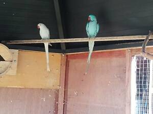 Indian Ring neck parrots