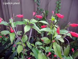 HOME NURSERY - LOTS OF CHEAP, HEALTHY PLANTS FOR SALE Dundas Parramatta Area Preview