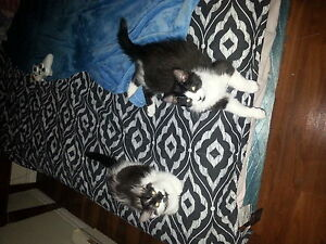 3 Kittens Free To Loving Home