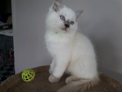 RAGDOLL KITTEN FROM REGISTERED BREEDER WITH  WITH PEDIGREE PAPERS