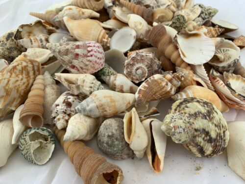 2 lbs. Large Indo Seashells Sea Shells Best Price FREE Ship!