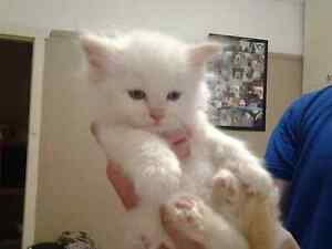 Ragdolls for sale Bardwell Valley Rockdale Area Preview