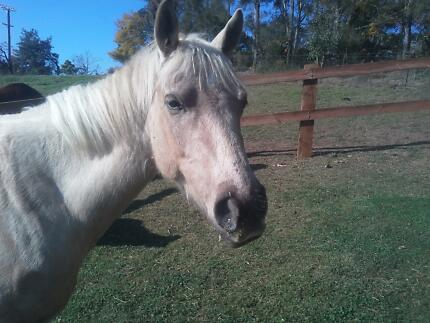 Palomino  Quarter Horse Mare for sale 14.2 - 3 quiet 4yo Grose Vale Hawkesbury Area Preview
