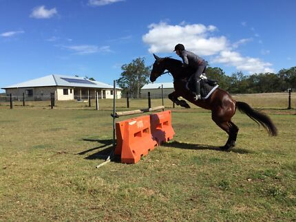 Jumping/eventing Holsteiner X mare Helidon Lockyer Valley Preview