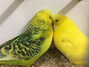 Lutino hen and clearbody budgie from show breeder Camberwell Boroondara Area Preview