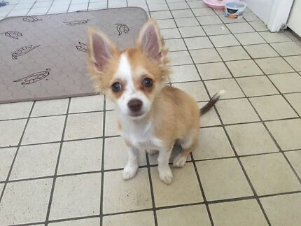 Puppy in melbourne region vic grooming gumtree australia free drop off and pickup dog wash solutioingenieria Gallery
