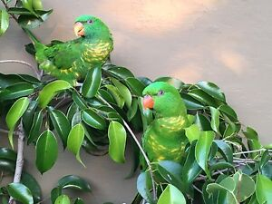 Hand raised scaly breasted lorikeet Lidcombe Auburn Area Preview