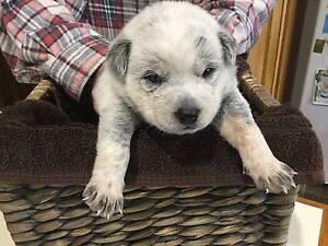 Blue Heeler Puppies Devonport Devonport Area Preview