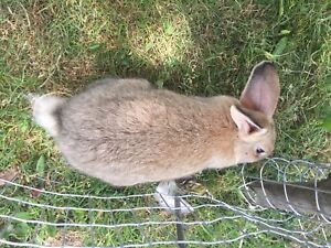 Bunny for sale 10$