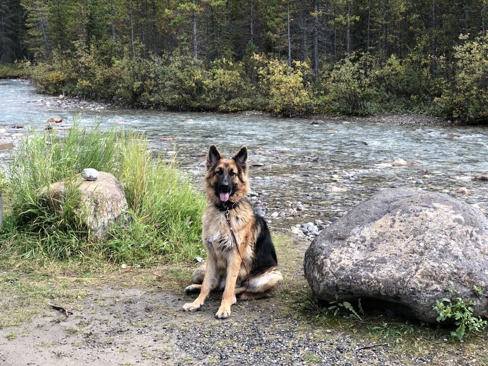 Male German Shepherd | Dogs & Puppies for Rehoming Czechia