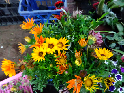 4 pots of gazanias $6 each or all 4 pots $20