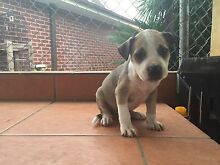 Staffy pups $400 Campbelltown Campbelltown Area Preview