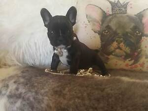 Quality French Bulldog Puppies Caboolture Caboolture Area Preview