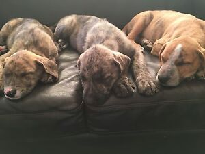 Staghound x Puppies 3 Males South Morang Whittlesea Area Preview