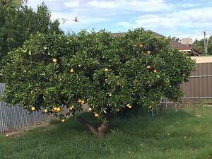 Orange tree Panorama Mitcham Area Preview
