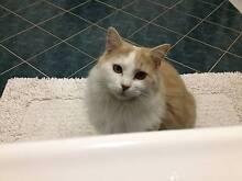 Missing Cat Pretzel Banora Point Myocum Byron Area Preview