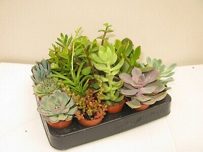 Wedding Favours/Gifts 50 x Mixed Succulent Plants In 5.5cm Pots