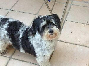 Looking for Lasha - Maltese Manly Vale Manly Area Preview