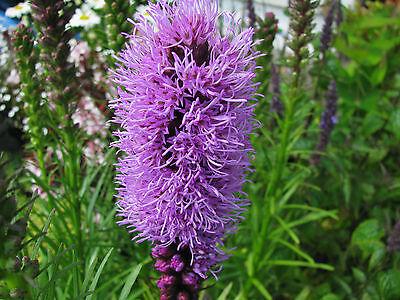 Prachtscharte Liatris spicata Sommerblüher