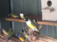 Gouldian finches Kyeemagh Rockdale Area Preview
