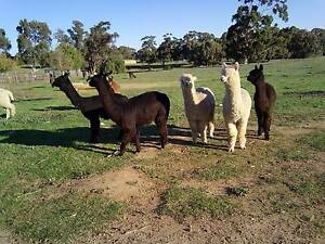 Pet Male Alpacas For Sale Bullsbrook Swan Area Preview