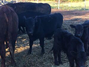 Black angus cross bull calf