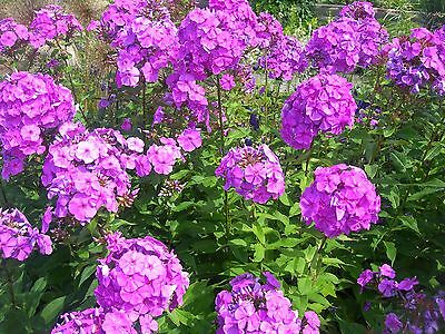 10 Tall PURPLE PHLOX Paniculata Garden Summer Native Hummingbird Flower Seeds - Gardening Summer Flowers