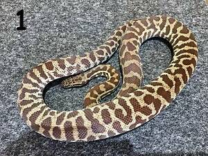 Stimsons Pythons - Quality Captive Bred Hold Back Adults For Sale Ellenbrook Swan Area Preview
