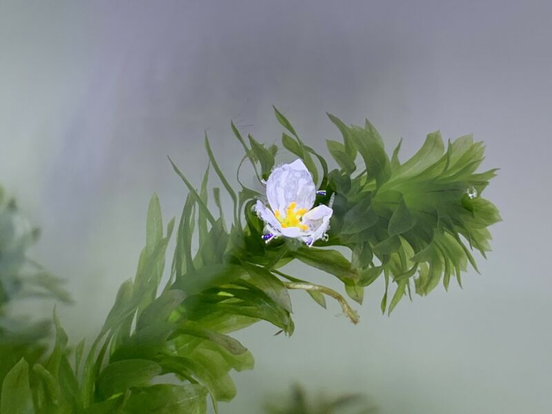 *BUY 2 GET 1 FREE* LARGE Anacharis Elodea Egeria Densa Easy Live Aquarium Plants