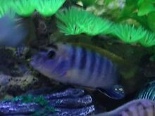 Hongi cichlid fish for sale Liverpool Liverpool Area Preview