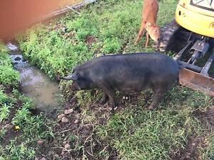 Black Pig for sale Clunes Lismore Area Preview