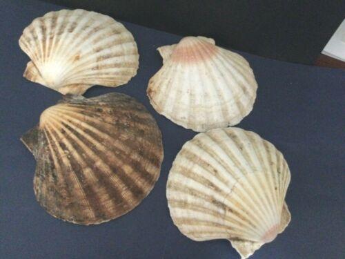 "4 Lions Paw Scallop Shells 6"" - Beach Nautical Decor Crafts Smudging Service"
