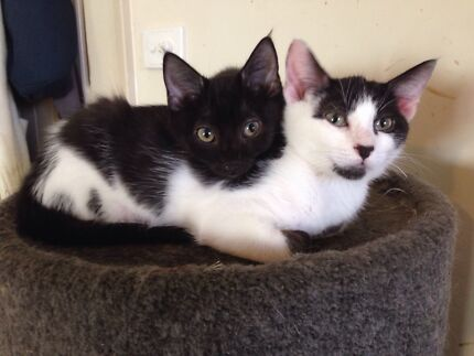 Rescue Kitten - Hunter Valley Cat Haven Maitland Maitland Area Preview