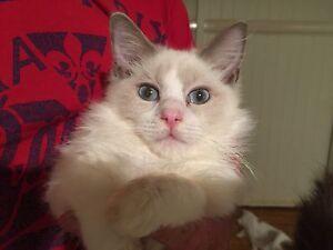 Pedigree Ragdoll Kittens Cedar Vale Logan Area Preview