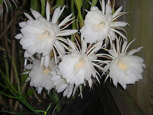 6 Cuttings Night Blooming Cereus  Epiphyllum Oxypetalum  Cacti Cactus Orchid
