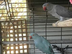 Indian ringnecks and cage Tanunda Barossa Area Preview