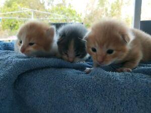 3 Gorgeous Ragdoll x Kittens