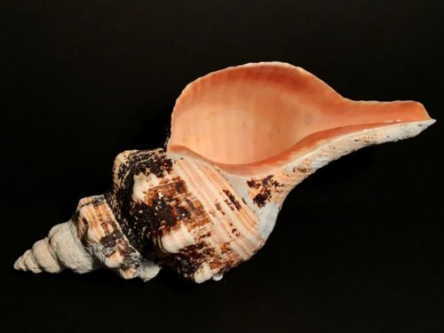 """LARGE & BEAUTIFUL 15.5"""" FLORIDA HORSE CONCH-FL STATE SEASHELL,EXCELENT CONDITION"""