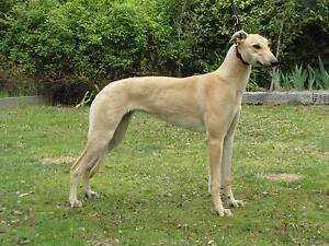 Greyhound Bitch Riverside West Tamar Preview