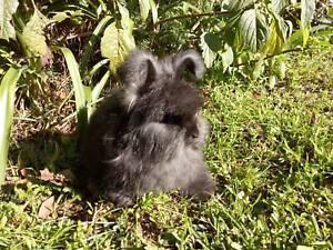 Pure Bred English Angora Boy Bunny