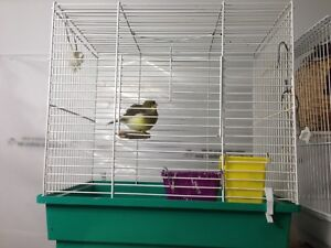 Green Canary with cage