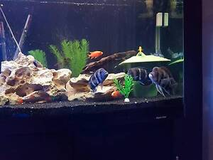 Various African Cichlids - Including Breeding Frontosa Pairs Bonner Gungahlin Area Preview