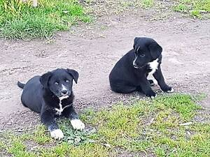 Border collie x Labrador pups Wymah Greater Hume Area Preview