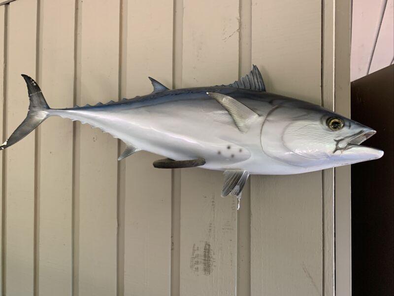 """30"""" Bluefin Tuna Mount Some Wear"""